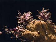 Solanum tuberosum I