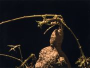 Solanum tuberosum III